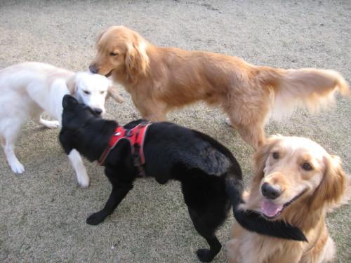 盲導犬候補生のブリッツ君_e0350927_10014353.jpg