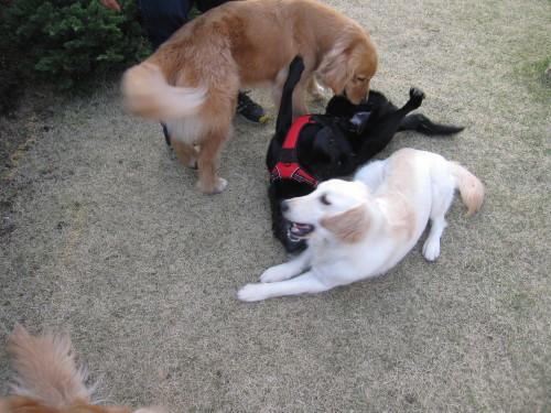 盲導犬候補生のブリッツ君_e0350927_10033833.jpg