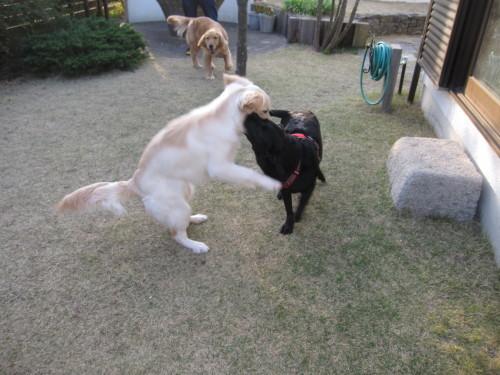 盲導犬候補生のブリッツ君_e0350927_10035124.jpg