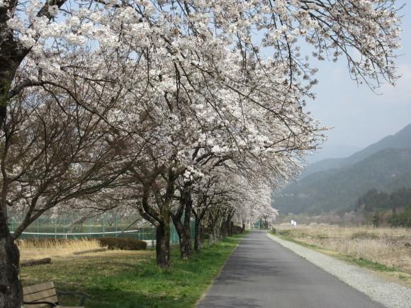 H30.4月4日 河川敷桜情報_d0010630_11571205.jpg