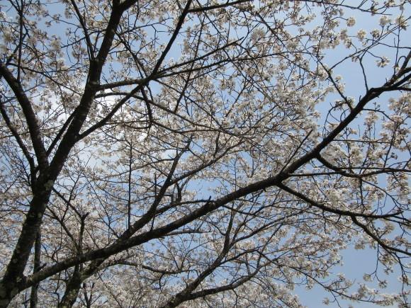 H30.4月4日 河川敷桜情報_d0010630_11573125.jpg