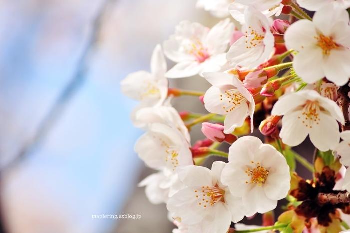 桜2018_f0234062_20593396.jpg