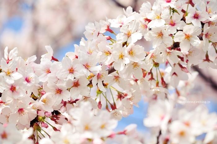 桜2018_f0234062_20594038.jpg