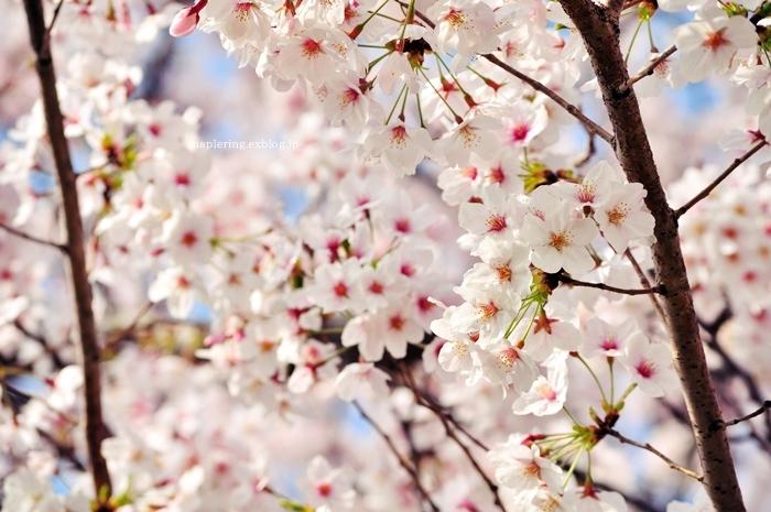 桜2018_f0234062_21010979.jpg