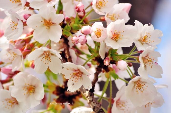 桜2018_f0234062_21011306.jpg
