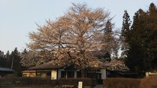 桜が急に開いております!_b0183564_17393165.jpg