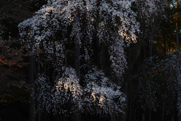 京都 桜2018 醍醐寺_f0021869_23452501.jpg