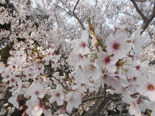 いちご狩り、桜の花見で楽しく笑ってきました~今年も頑張ってみます。_e0364586_14434991.jpg