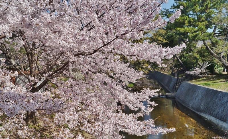 夙川公園の桜(1)猫の花見_b0063958_11001422.jpg