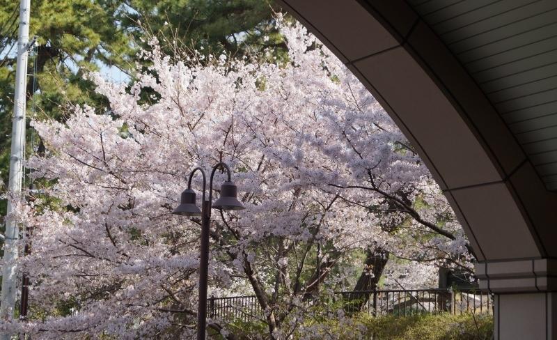 夙川公園の桜(1)猫の花見_b0063958_11022791.jpg