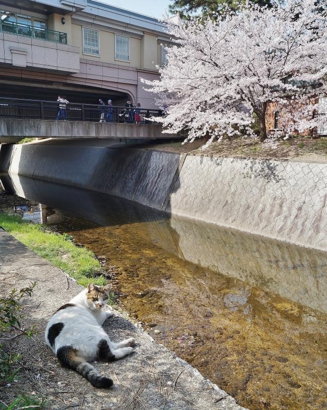 夙川公園の桜(1)猫の花見_b0063958_11081299.jpg