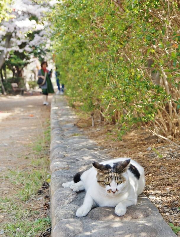 夙川公園の桜(1)猫の花見_b0063958_11090987.jpg
