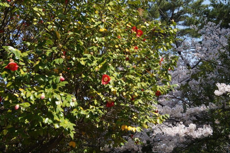夙川公園の桜(2)椿と桜_b0063958_12113797.jpg