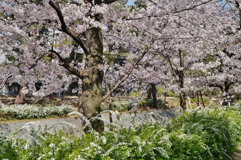夙川公園の桜(3)雪柳と桜_b0063958_12311122.jpg