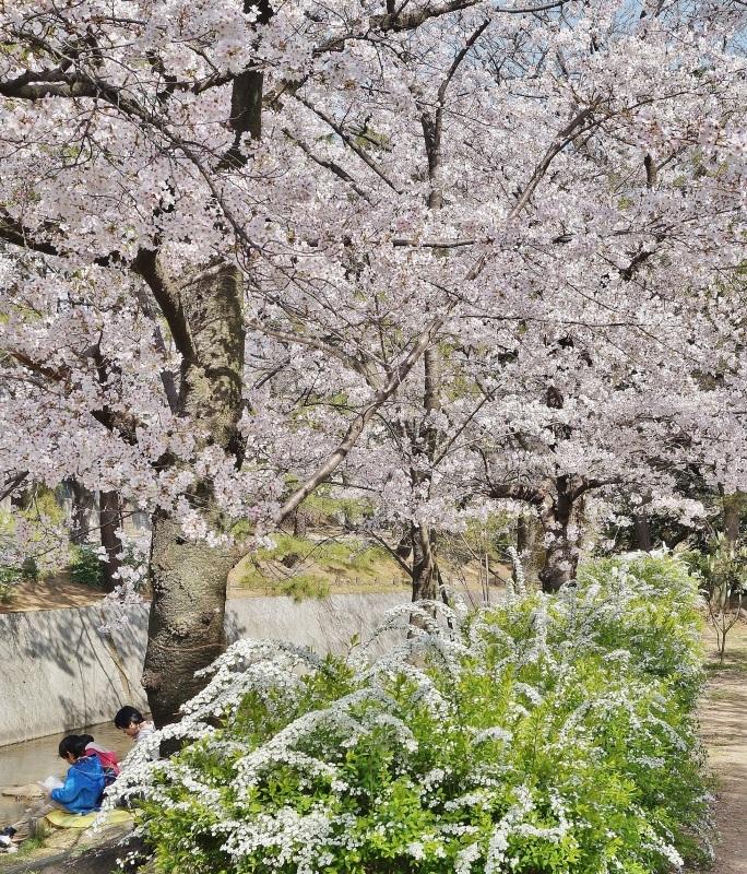 夙川公園の桜(3)雪柳と桜_b0063958_12345322.jpg