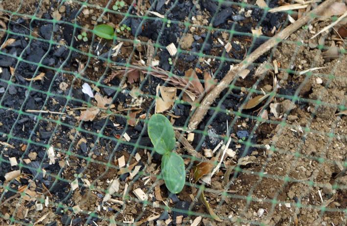地這い胡瓜とトウモロコシの一部が発芽4・3_c0014967_6534550.jpg