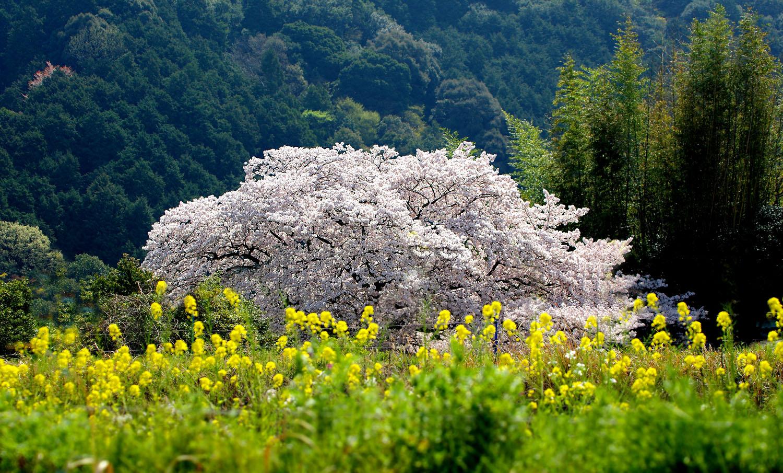 塔原の一本桜_f0215767_13542515.jpg