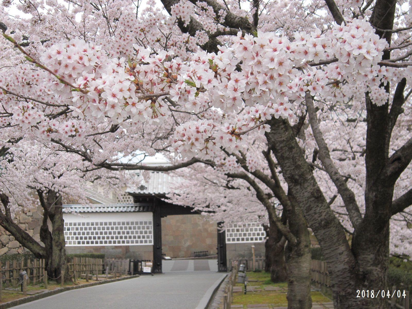 桜だより❀ 満開です❀ (4月7日 追記あり)  _a0207574_16433682.jpg