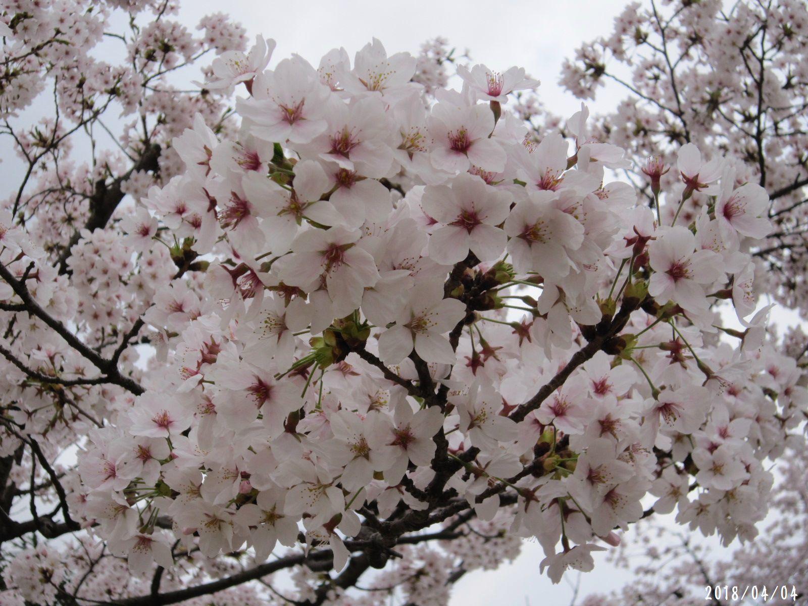 桜だより❀ 満開です❀ (4月7日 追記あり)  _a0207574_16443610.jpg