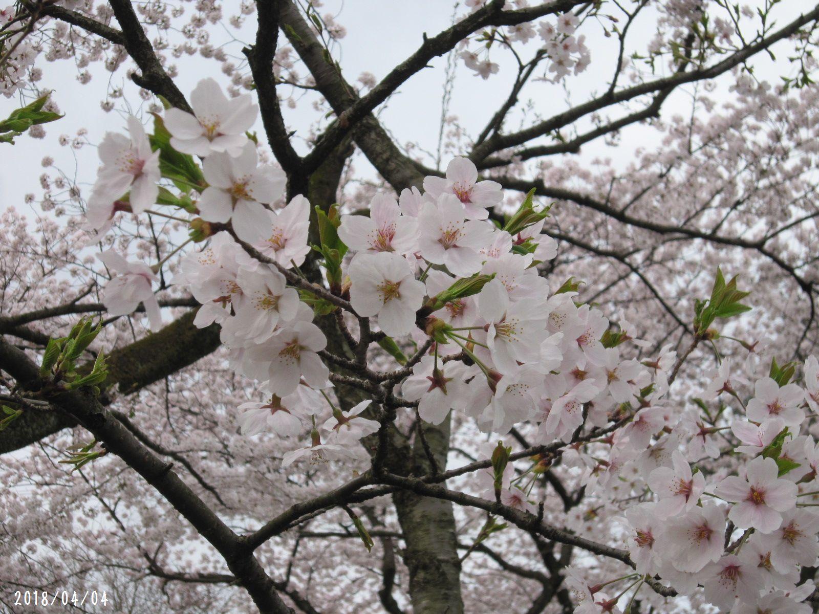 桜だより❀ 満開です❀ (4月7日 追記あり)  _a0207574_16453198.jpg