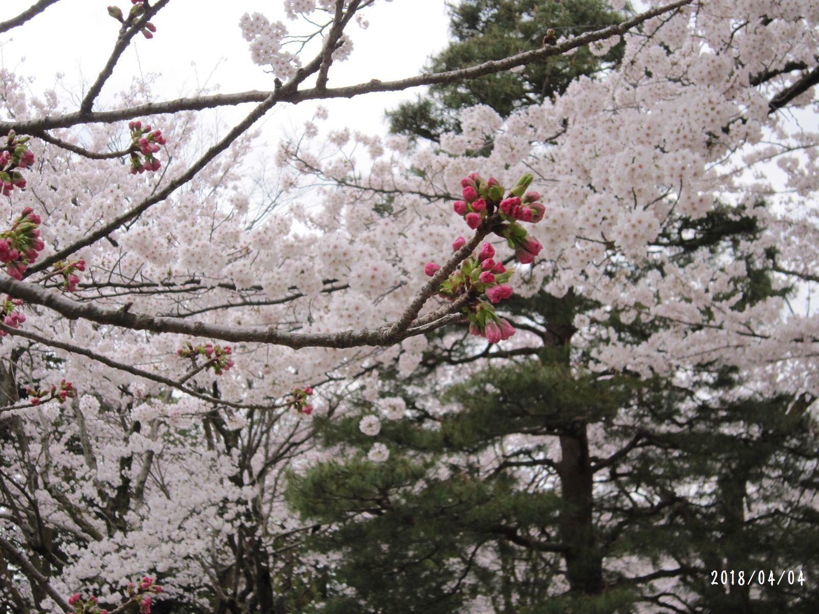 桜だより❀ 満開です❀ (4月7日 追記あり)  _a0207574_16455391.jpg