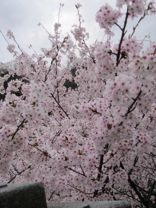 桜だより❀ 満開です❀ (4月7日 追記あり)  _a0207574_16465696.jpg