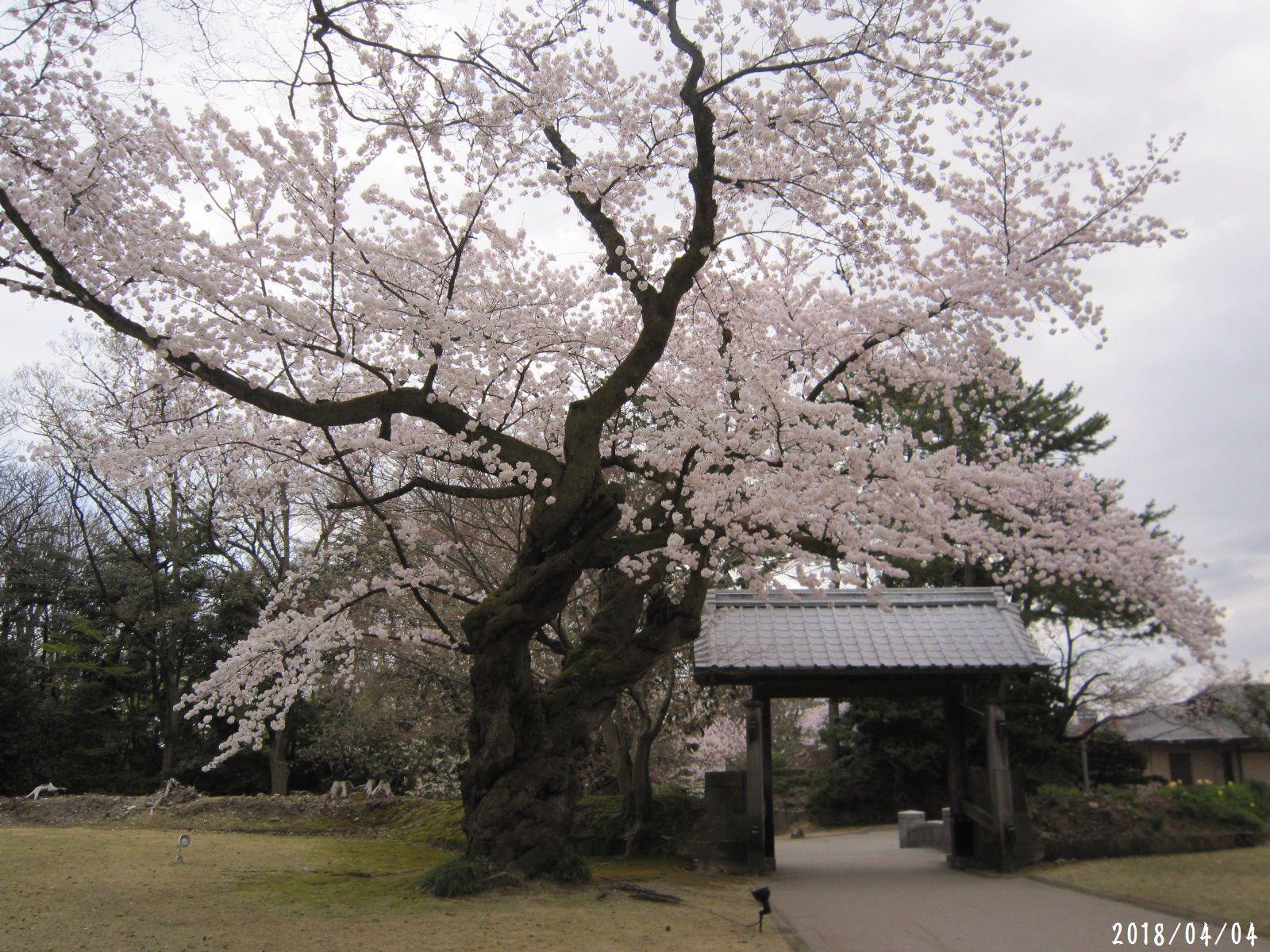 桜だより❀ 満開です❀ (4月7日 追記あり)  _a0207574_16502280.jpg
