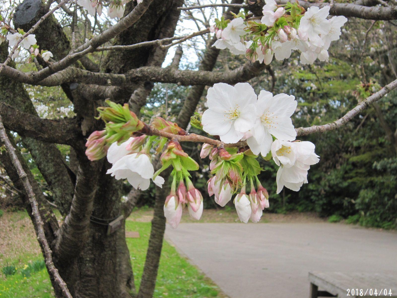 桜だより❀ 満開です❀ (4月7日 追記あり)  _a0207574_16541820.jpg
