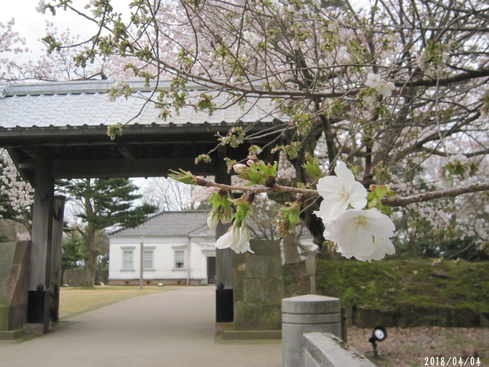 桜だより❀ 満開です❀ (4月7日 追記あり)  _a0207574_16544655.jpg