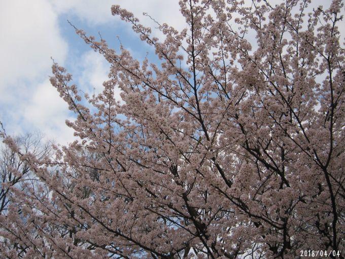 桜だより❀ 満開です❀ (4月7日 追記あり)  _a0207574_16560058.jpg