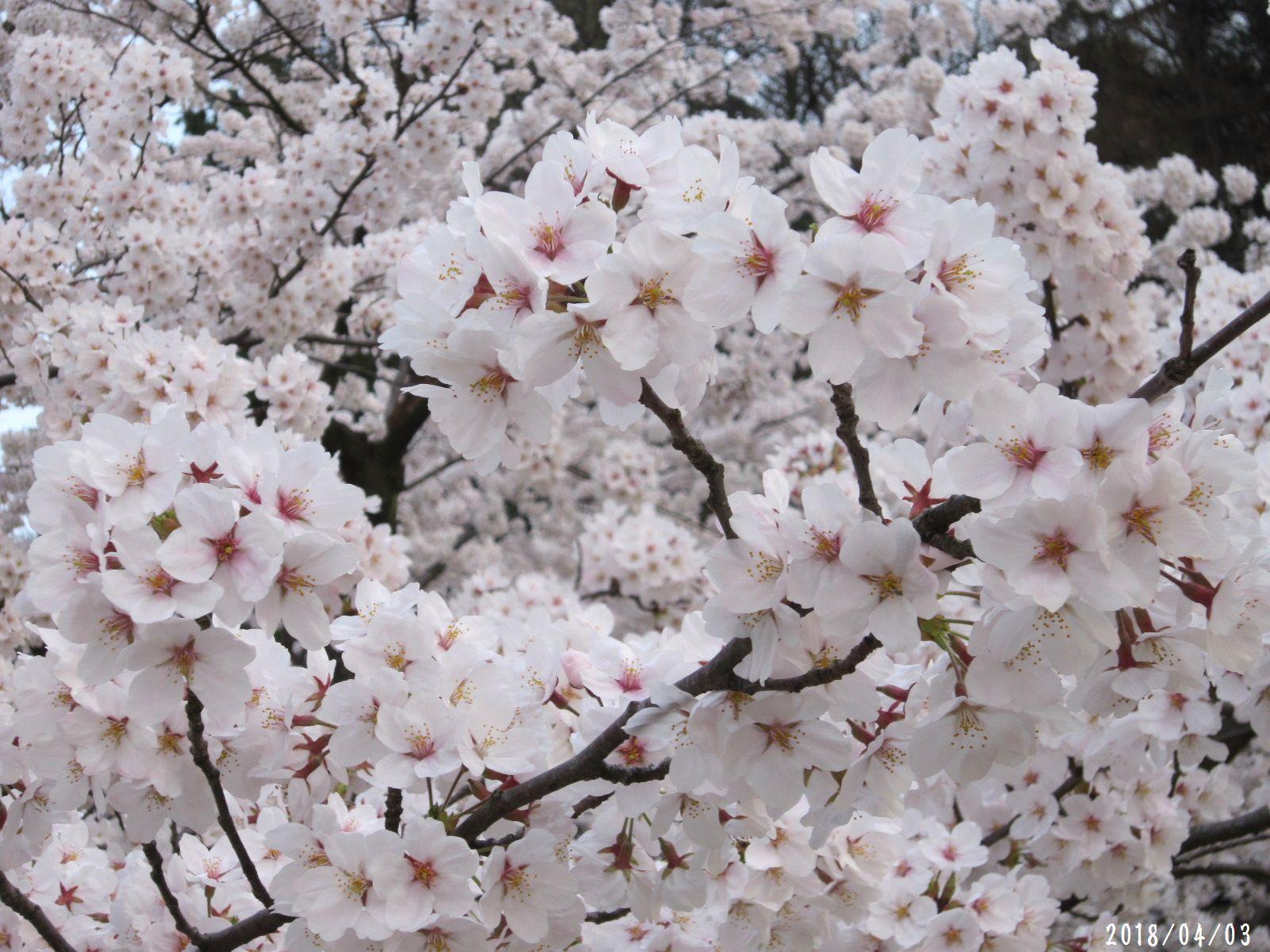 桜だより❀ 満開です❀ (4月7日 追記あり)  _a0207574_16593434.jpg