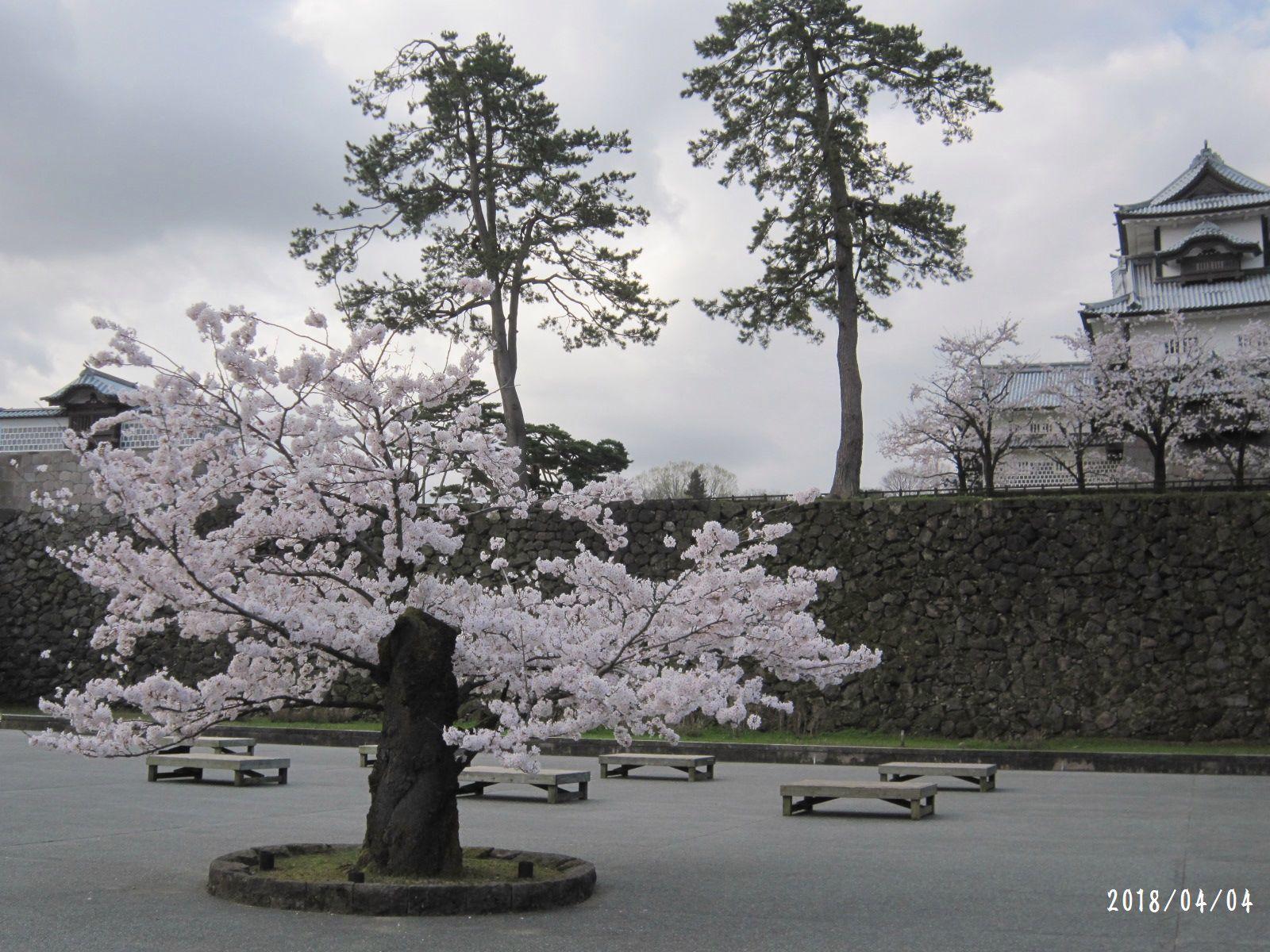 桜だより❀ 満開です❀ (4月7日 追記あり)  _a0207574_17035915.jpg