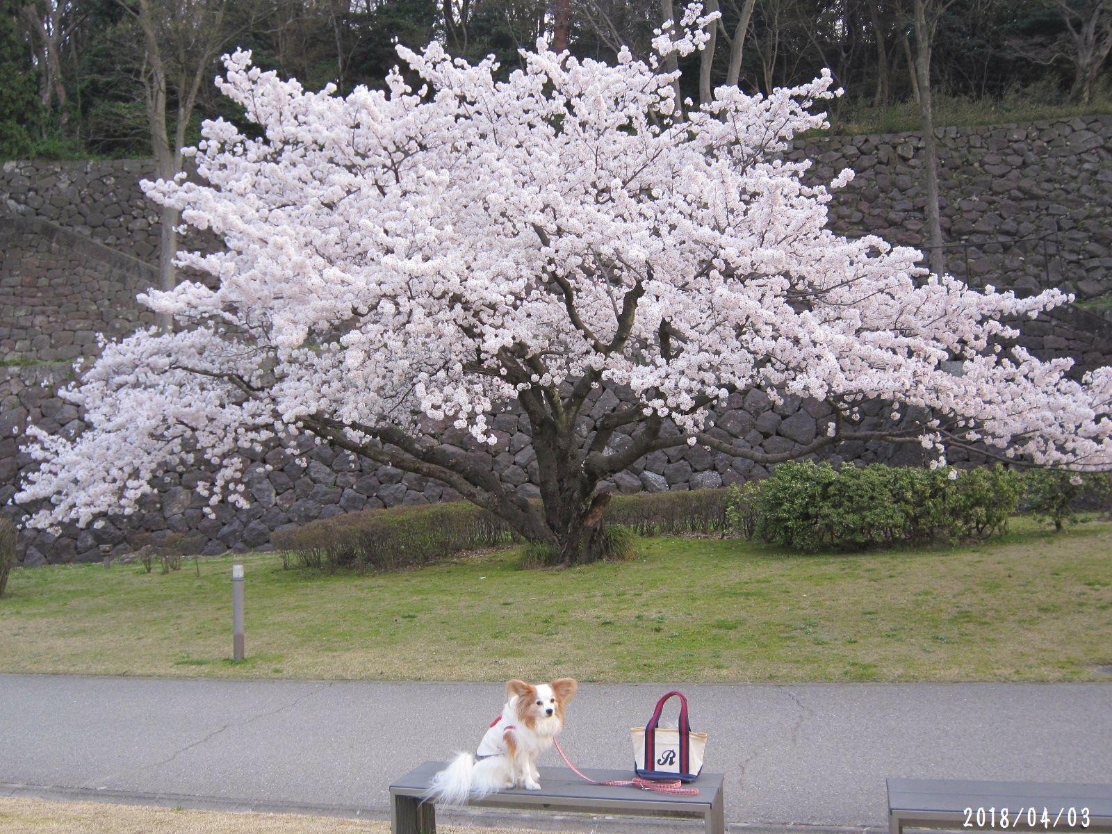 桜だより❀ 満開です❀ (4月7日 追記あり)  _a0207574_17094353.jpg