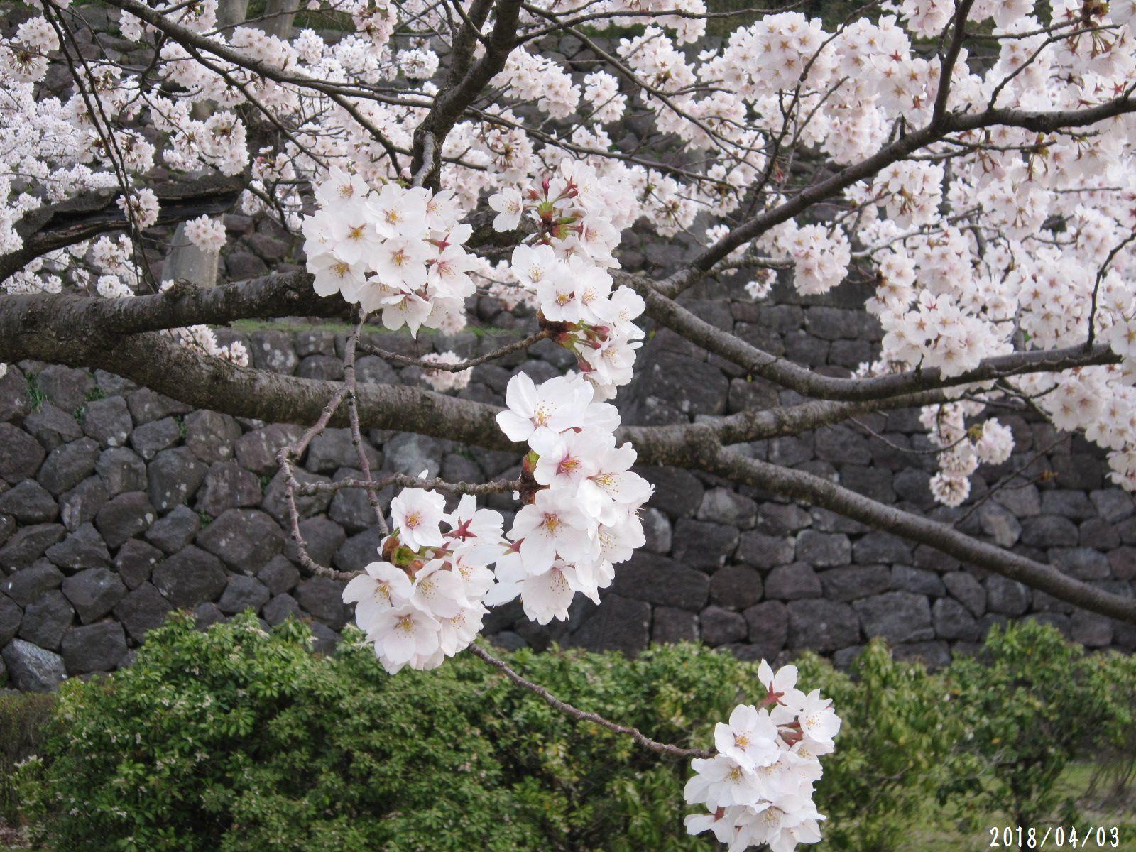桜だより❀ 満開です❀ (4月7日 追記あり)  _a0207574_17132972.jpg