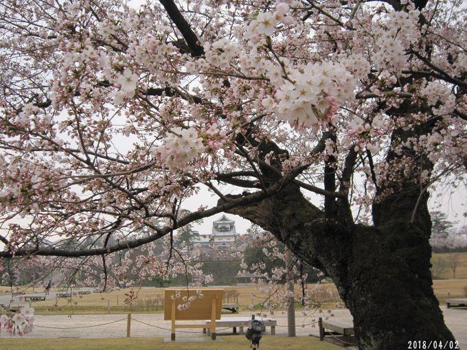 桜だより❀ 満開です❀ (4月7日 追記あり)  _a0207574_17153436.jpg