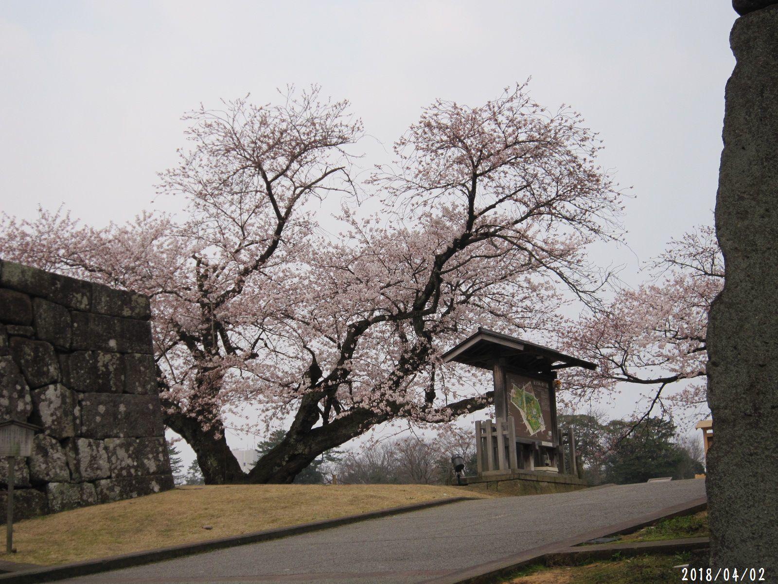 桜だより❀ 満開です❀ (4月7日 追記あり)  _a0207574_17160603.jpg