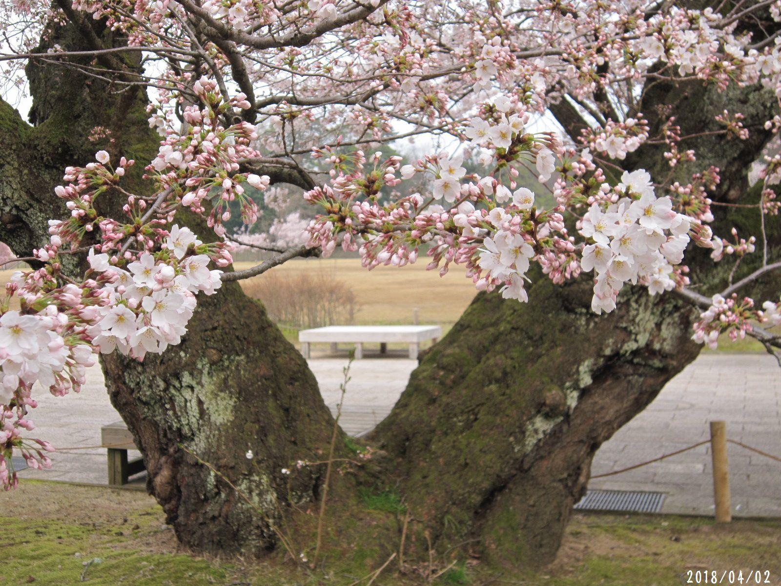 桜だより❀ 満開です❀ (4月7日 追記あり)  _a0207574_17164323.jpg