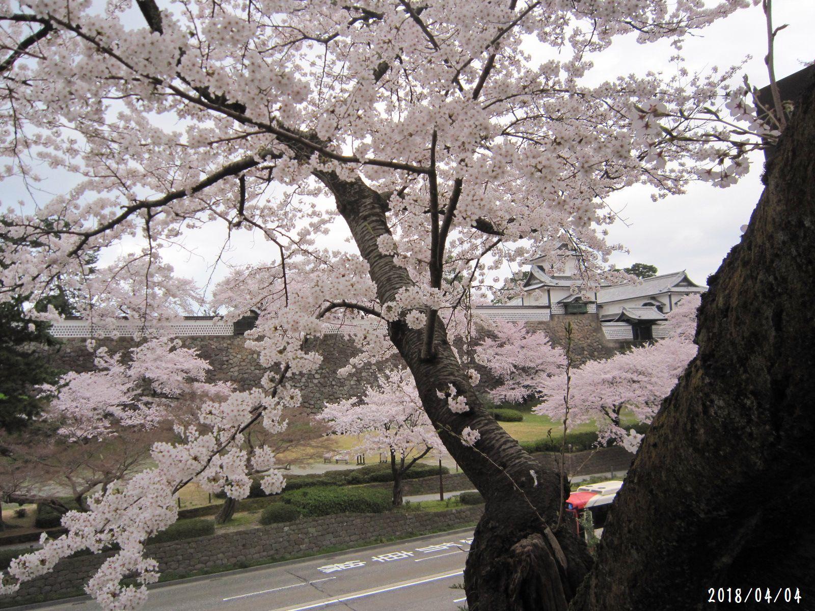 桜だより❀ 満開です❀ (4月7日 追記あり)  _a0207574_17201979.jpg