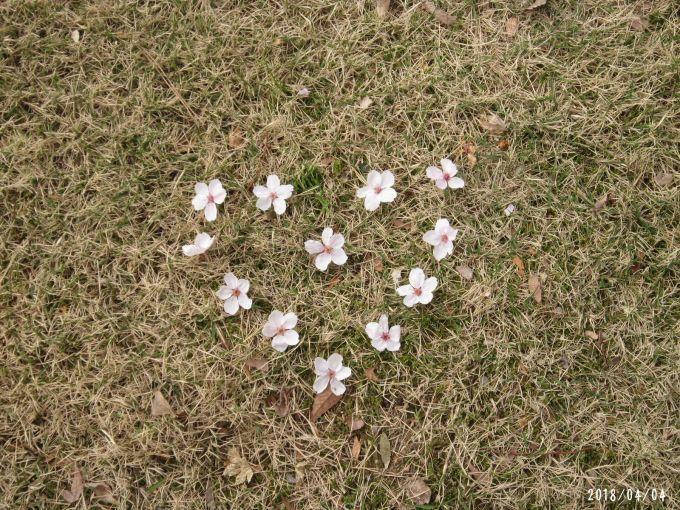 桜だより❀ 満開です❀ (4月7日 追記あり)  _a0207574_17245338.jpg