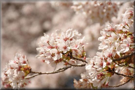 お花見散歩2018 @野川公園_f0363141_08475741.jpg