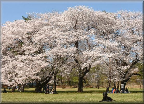 お花見散歩2018 @野川公園_f0363141_08581849.jpg