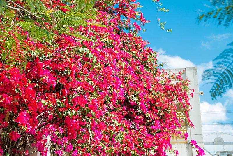 今年はなんだかブーゲンビレアが色鮮やかな気がする。_a0073742_23563703.jpg