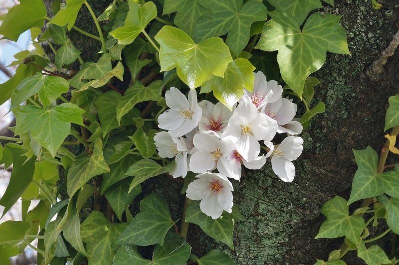 夙川公園の桜(4)蔦に絡まれた桜_b0063958_20424190.jpg