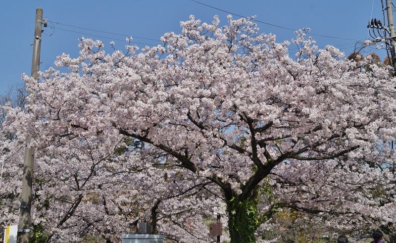 夙川公園の桜(4)蔦に絡まれた桜_b0063958_20462069.jpg