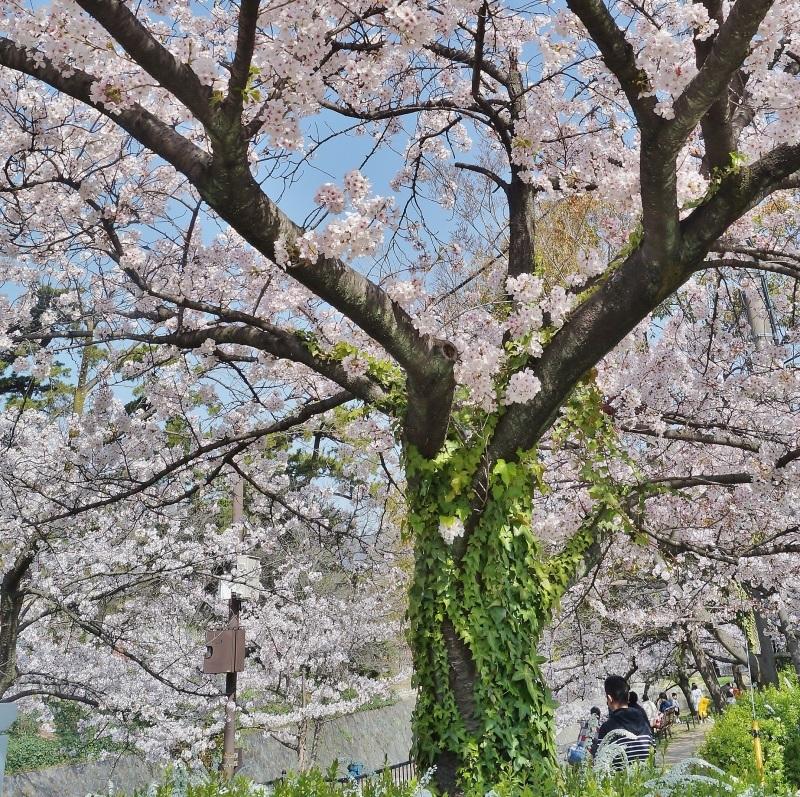 夙川公園の桜(4)蔦に絡まれた桜_b0063958_20511005.jpg