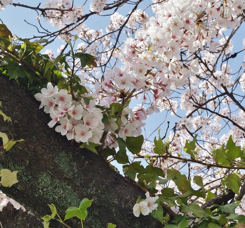 夙川公園の桜(4)蔦に絡まれた桜_b0063958_20544933.jpg