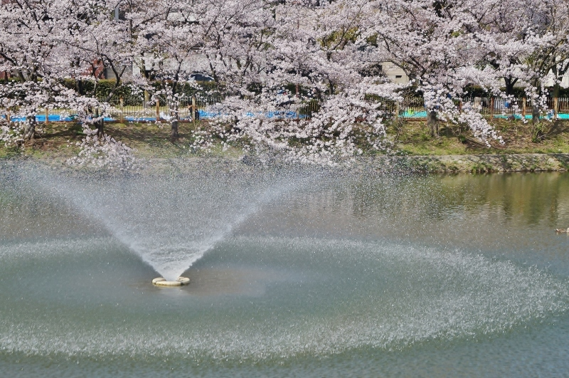 夙川公園の桜(5)片鉾池の桜_b0063958_21340362.jpg
