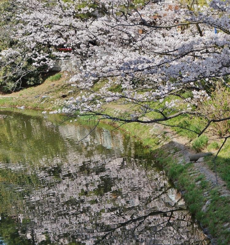 夙川公園の桜(5)片鉾池の桜_b0063958_21413001.jpg