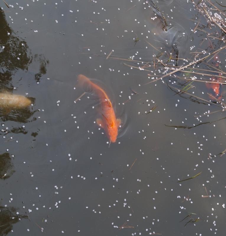 夙川公園の桜(5)片鉾池の桜_b0063958_21422461.jpg