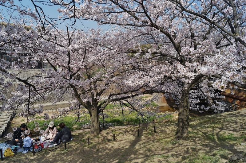 夙川公園の桜(6)お花見宴会だったら・・・_b0063958_22203580.jpg